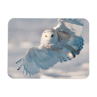 Snowy Owl landing on snow Magnet