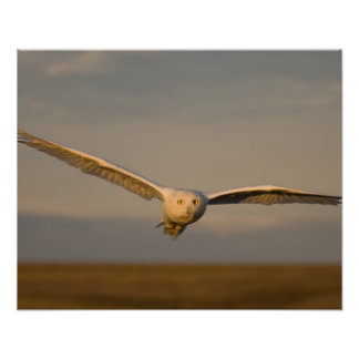 snowy owl, Nycttea scandiaca, in flight over the Poster