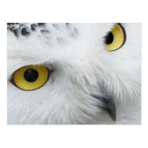 Snowy Owl Photo Postcard