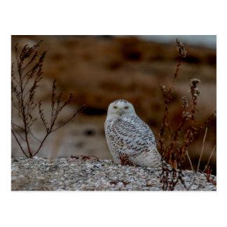 Snowy owl sitting on a rock postcard
