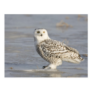 Snowy owl standing on ice, a mouse's tail postcard