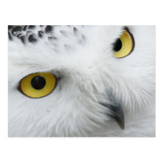 Snowy White Owl with Piercing Eyes Postcard