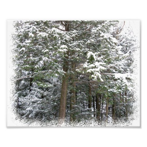 Snowy Xmas Trees in a Winter Wonderland Forest Photograph