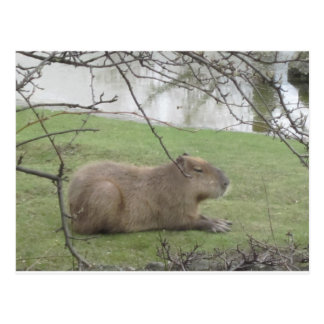 So sweetly the giant rodent postcard