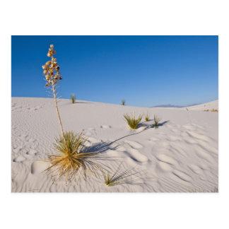 Soaptree Yucca, long Shadow, Transverse Dunes Postcard