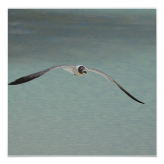 Soaring Laughing Gull Posters
