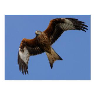 Soaring Red Kite Postcard