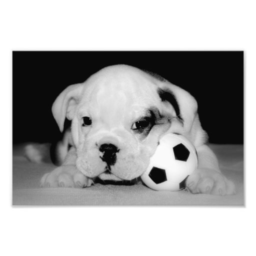 """Soccer Puppy"" English Bulldog Photograph"