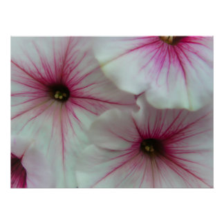 Soft and delicate Pink Petunias Poster