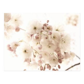 Soft Apple Blossom Postcard