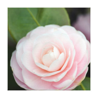 Soft Pink Spring Rose Canvas Prints