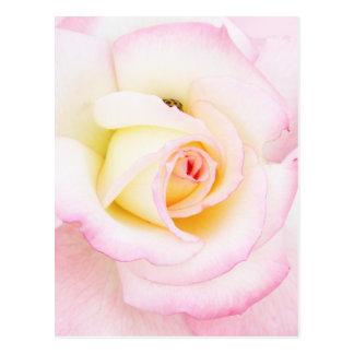 Soft rose postcard