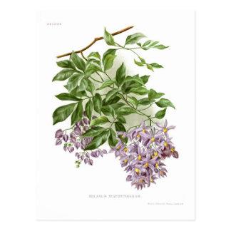 Solanum seaforthianum postcard