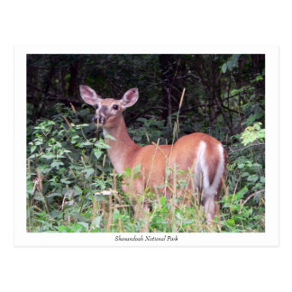 Solitary Fawn Postcard