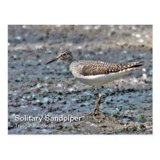 Solitary Sandpiper Postcard