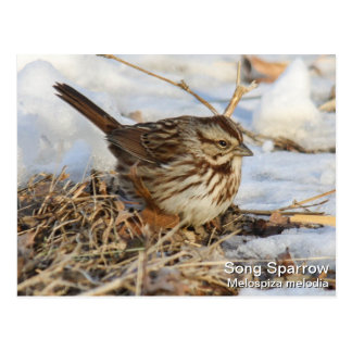 Song Sparrow Postcard