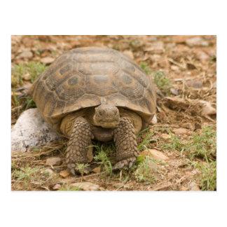 Sonoran Deset Tortoise Post Cards