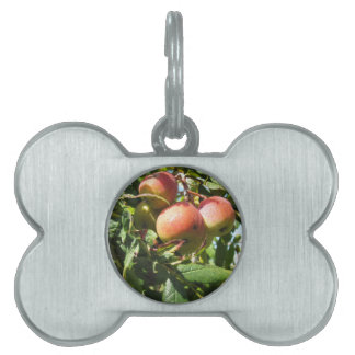 Sorbs in fruit tree . Tuscany, Italy Pet Tags