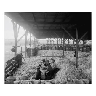 Sorting Cotton-Large Format Black and White Photo Print
