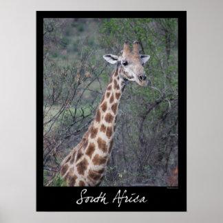 South Africa Giraffe Poster