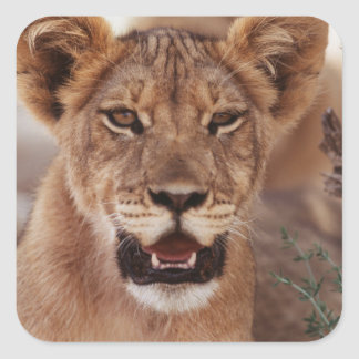 South Africa, Kalahari Gemsbok National Park 3 Square Sticker