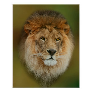 South Africa Majestic Lion Close up Poster