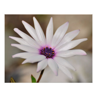 South African Daisy Print