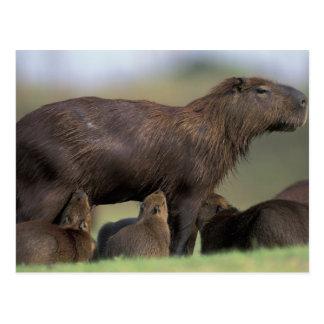 South America, Brazil, Pantanal Capybara Postcard