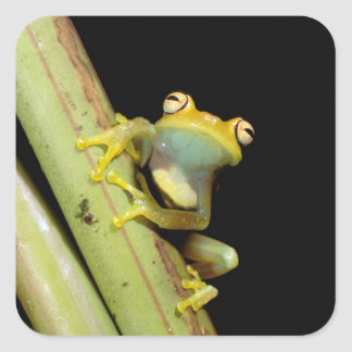 South America, Ecuador, Amazon. Tree frog (Hyla Sticker