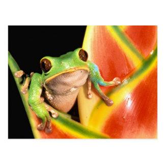 South America, Ecuador, Amazon. Tree frog Postcard