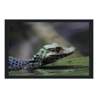 South American Caiman Poster