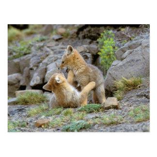 South American Gray Fox (Lycalopex griseus) pair 2 Postcard