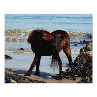 South Devon Beach Dartmoor Pony Biteing Tale Photo Print