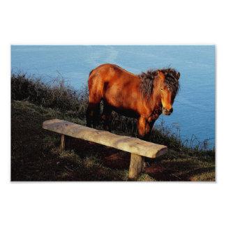 South Devon Coast Dartmoor Pony Near Bench .2. Photo Art