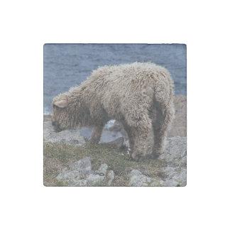 South Devon Long Wool Sheep Lamb Grazing On Coast Stone Magnet