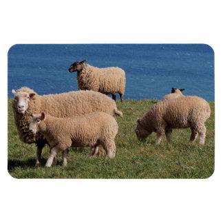 South Devon Sheep And Lambs Grazeing On Coastline Rectangular Photo Magnet