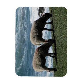 South Devon Two Lambs Grazeing On Wild Coastline Magnet