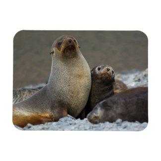 South Georgia. Antarctic fur seal 3 Rectangular Photo Magnet