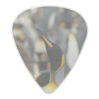 South Georgia Island, Salisbury Plain. Second Acetal Guitar Pick