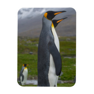 South Georgia. Saint Andrews. King penguin 5 Rectangular Photo Magnet