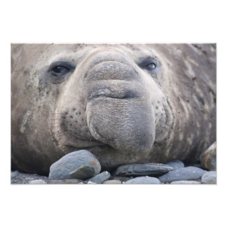Southern Elephant Seal Mirounga leonina) 2 Photo Print