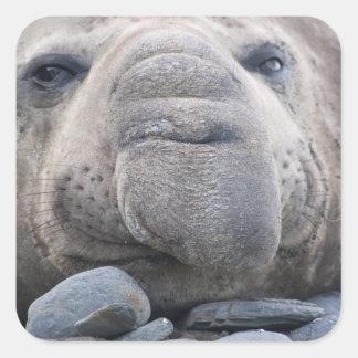Southern Elephant Seal Mirounga leonina) 2 Square Sticker