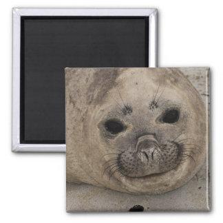 Southern Elephant Seal Mirounga leonina) 3 Square Magnet