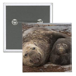 Southern Elephant Seals Mirounga leonina) Button