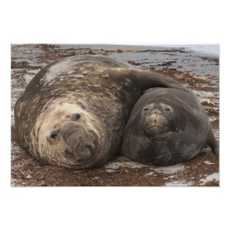 Southern Elephant Seals Mirounga leonina) Photo