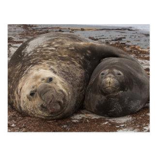 Southern Elephant Seals Mirounga leonina) Postcard