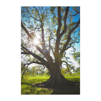 Southern Live Oak Tree Canvas Print