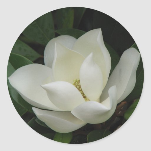Southern Magnolia Bloom Classic Round Sticker