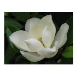 Southern Magnolia Post Cards