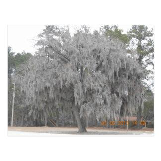 Southern Oak draped with Spanish moss Postcard